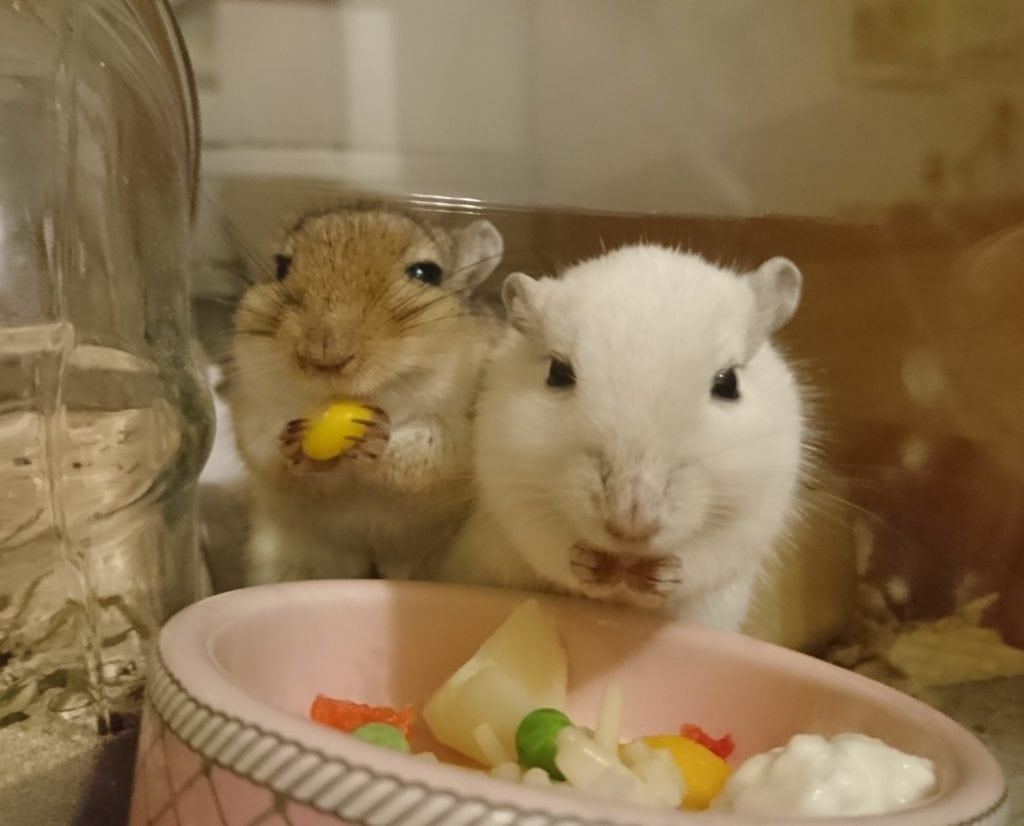 Två gerbiler äter färskmat