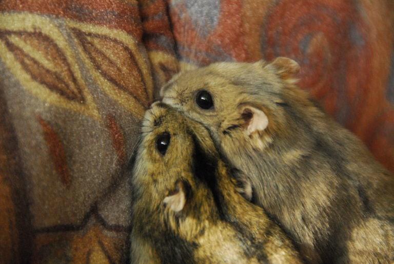 Två hamstrar nära varandra