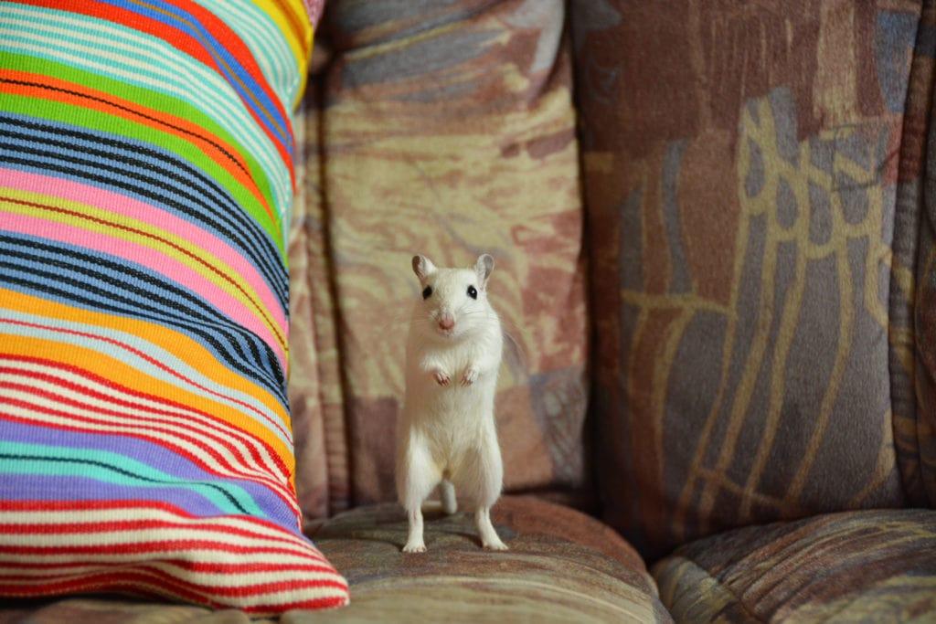 Gerbil i soffa