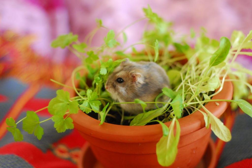 Hamster i salladsodling