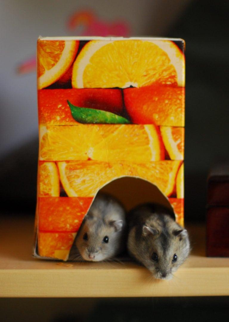 Hamstrar i ett Bravo kartonghus