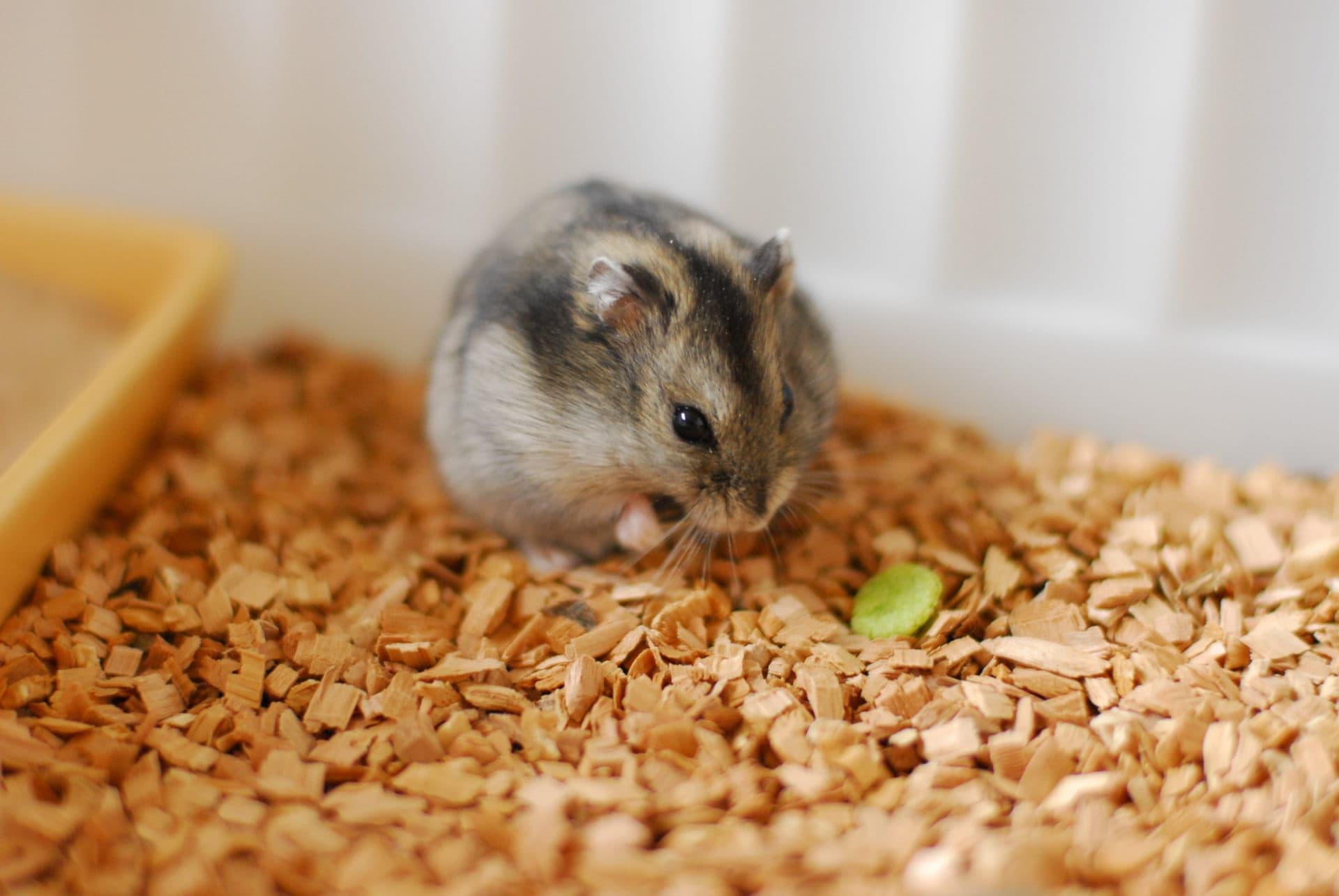 vad kan hamstrar äta