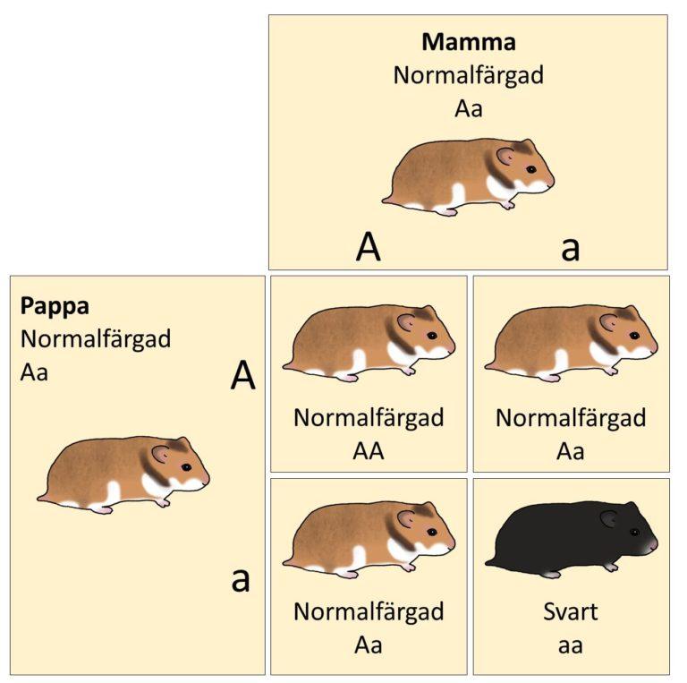 Korsningsschema dominant/recessiv