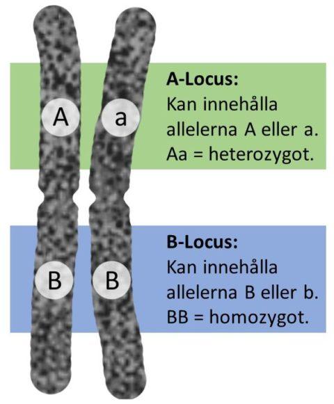 Locus och alleler