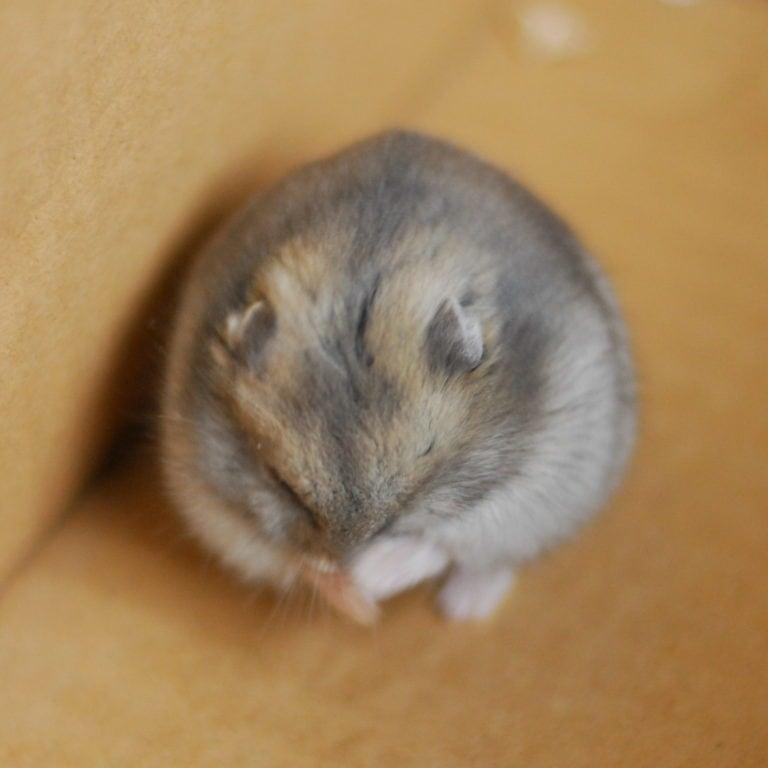 Hamster putsar sig själv