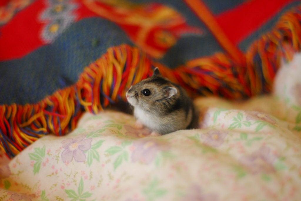 Hamster vid färgstark filt