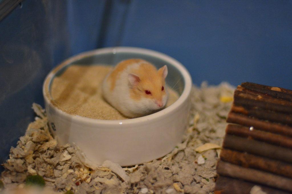 Sandbad hamster.